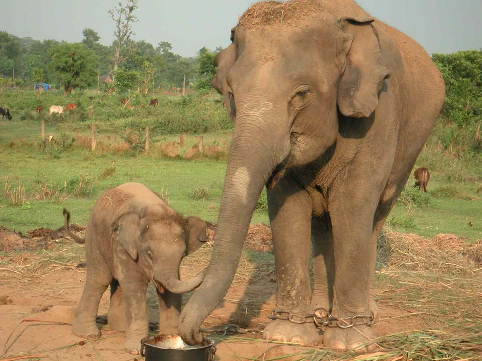 Chitwan, elephant breeding center, Sauraha